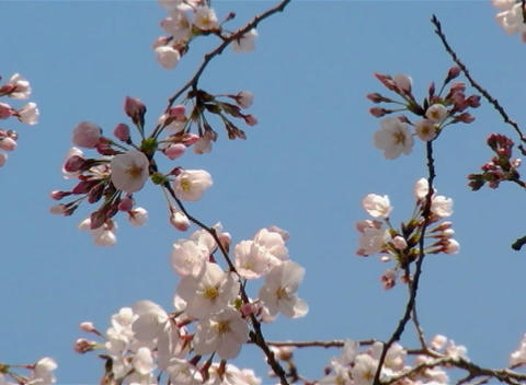 SAKURA 51 mov Cherry blossoms Stock Video Footage