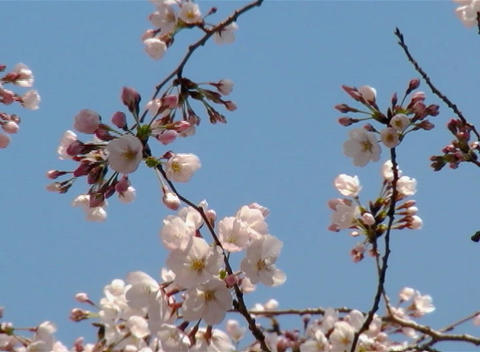 SAKURA 51 mov Cherry blossoms Stock Video Footage