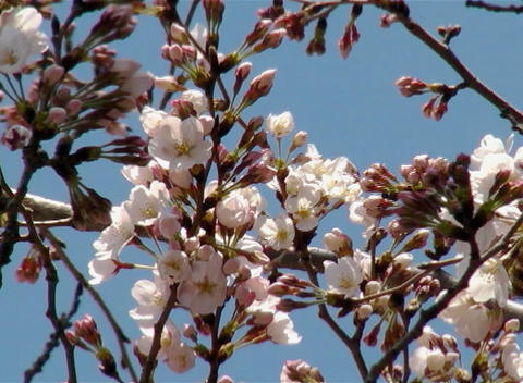 SAKURA 53 mov Cherry blossoms Stock Video Footage
