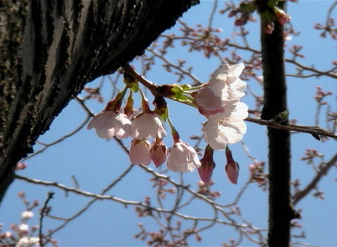 SAKURA 55 mov Cherry blossoms Stock Video Footage