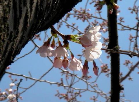 SAKURA 55 mov Cherry blossoms Stock Video Footage