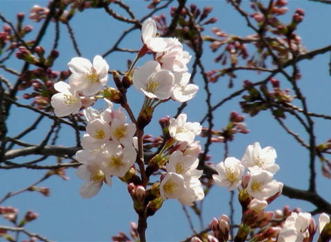 SAKURA 57 mov Cherry blossoms Stock Video Footage