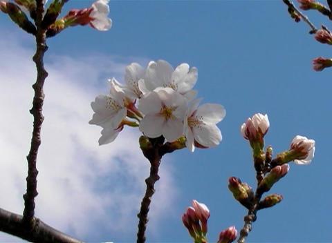SAKURA 59 mov Cherry blossoms Stock Video Footage