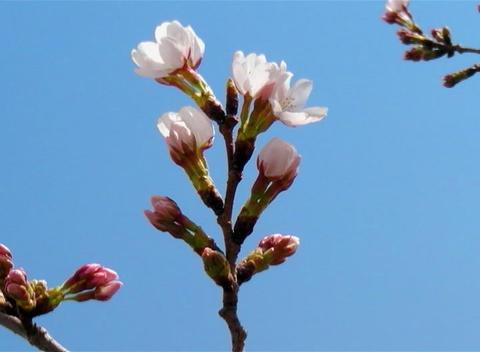 SAKURA 61 mov Cherry blossoms Stock Video Footage