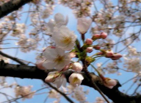 SAKURA 63 mov Cherry blossoms Stock Video Footage
