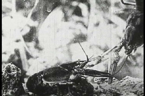 A boy catches some crayfish during the 1920s Footage