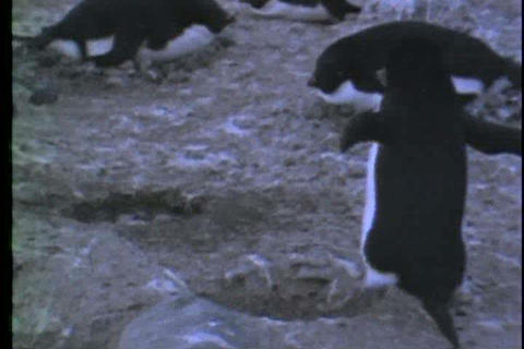 A group of penguins steal pebbles from each other  Footage