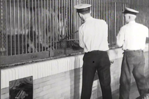 Lions are fed at the Detroit zoo in 1931 Footage