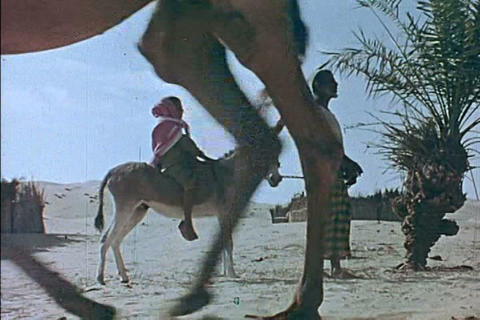 Bedouins ride camels across Saudi Arabia in 1973 Footage