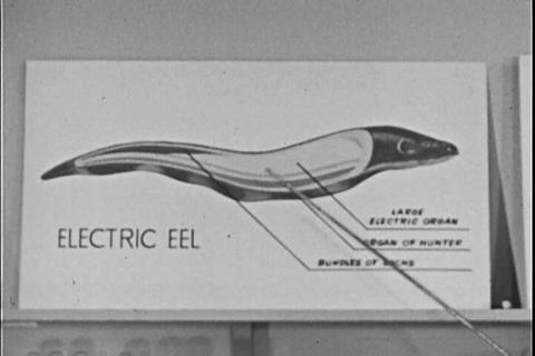 The wonders of the electric eel are discussed in t Footage
