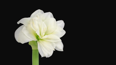 "Time-lapse opening ""Alfresco"" white amaryllis Christmas flower alpha matte 1 Footage"