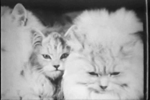 Winners of the National Cat Show in 1929 Stock Video Footage