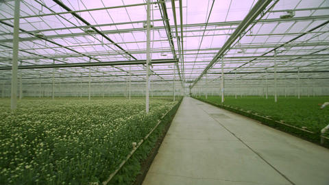 Green crops grow in a greenhouse Footage