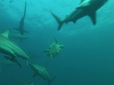 Hawksbill Turtle With Black Tip Sharks stock footage