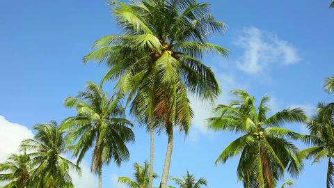 Coconut palm Footage