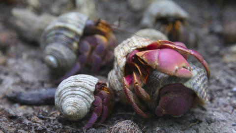 Hermit crabs Footage