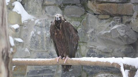 Vulture Footage