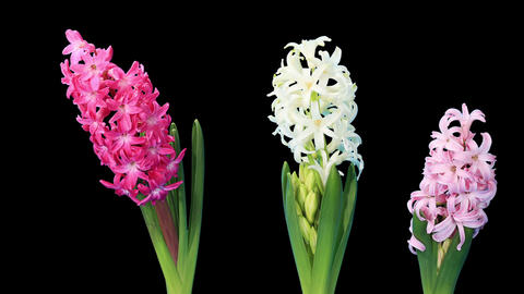 Time-lapse opening hyacinth flower buds ALPHA matt Footage