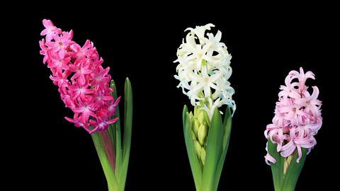 Time-lapse opening hyacinth flower buds ALPHA matt Live Action