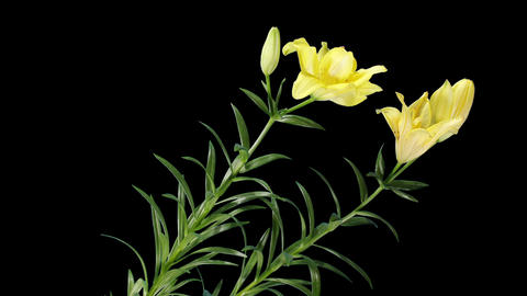 Blooming yellow lily flower buds ALPHA matte (Lili Live Action