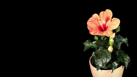 Blooming orange Hibiscus flower buds ALPHA matte Footage
