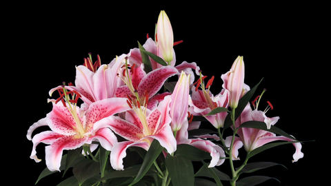 Blooming pink lily flower buds ALPHA matte, FULL H Footage