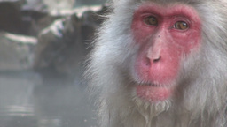 Beautiful face of famous 'snow monkey' in Japan Footage