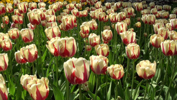 Fresh Tulips In A Field stock footage