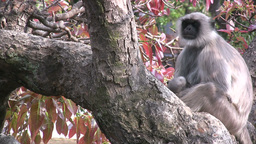 Monkey mother and baby in trees Footage