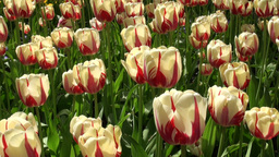 Perfect red yellow tulips Footage