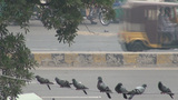Pigeons on electricity line along busy Pakistan ro Footage
