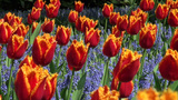 Sensational Tulips And Lavender Field stock footage