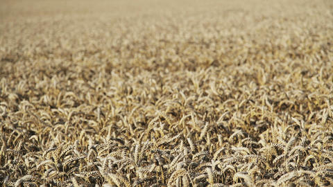 Wheat Field Animation
