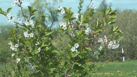 Blossoming Cherry-tree stock footage