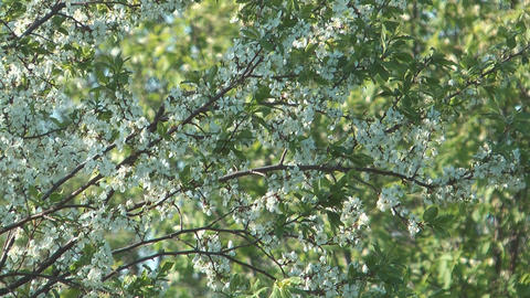 Blossoming cherry-tree Footage