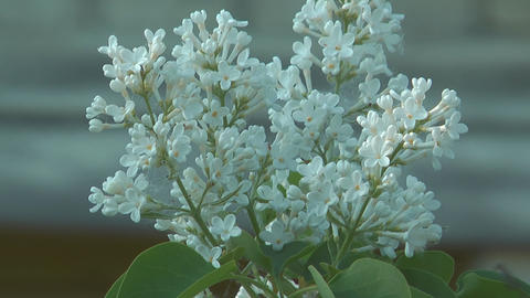 Blossoming white lilac Footage