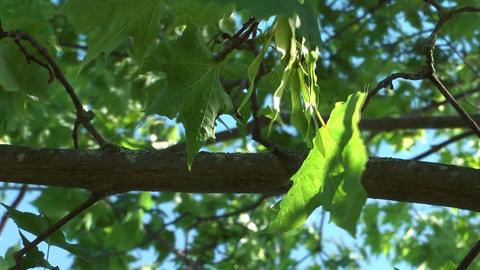 Maple tree Footage