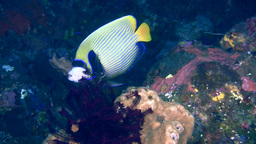 Emperor angelfish (Pomacanthus imperator) being cl Footage