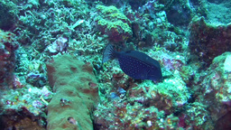 Solor, Striped or Reticulated boxfish (Ostracion s Footage