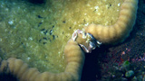 Spotted porcelain crab (Neopetrolisthes maculatus) Footage