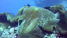 Pharaon Cuttlefish (Sepia Pharaonis) Changing Colo stock footage