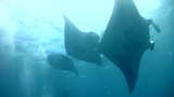 Giant manta ray (Manta birostris) swimming in circ Footage