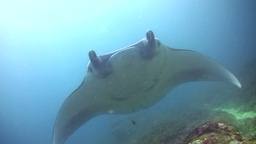 Giant manta ray (Manta birostris) swimming on top Footage