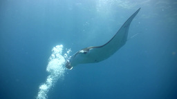 Giant manta ray (Manta birostris) swimming into bu Footage