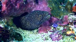 Whitemouth Moray (Gymnothorax Meleagris) Close Up stock footage