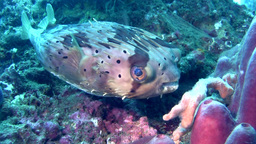 Freckled, Fine-spotted Or Long-spine Porcupinefish stock footage