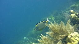Orange-spine Unicornfish (Naso Lituratus) Being Cl stock footage