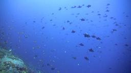 Redtooth triggerfish (Odonus niger) in school Footage