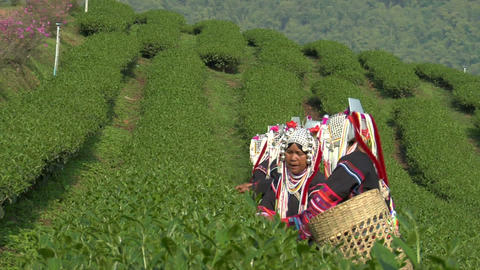 Akha Tea Harvest Footage