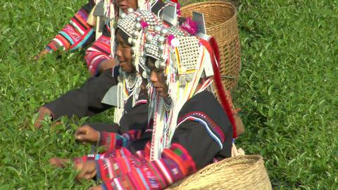 Akha Tea Pickers Footage